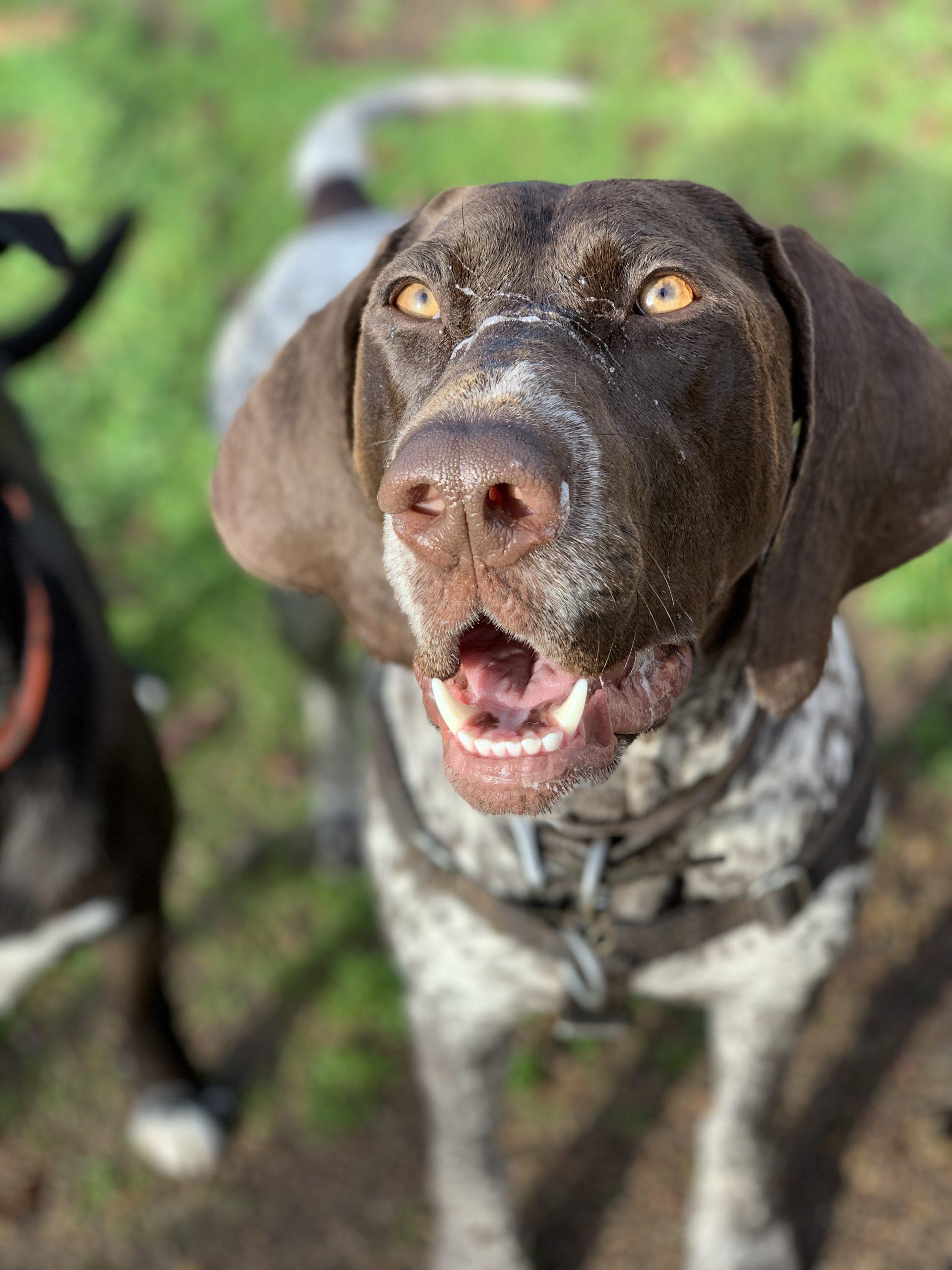 Ruby - Dedras Dog Pack Member In Victoria