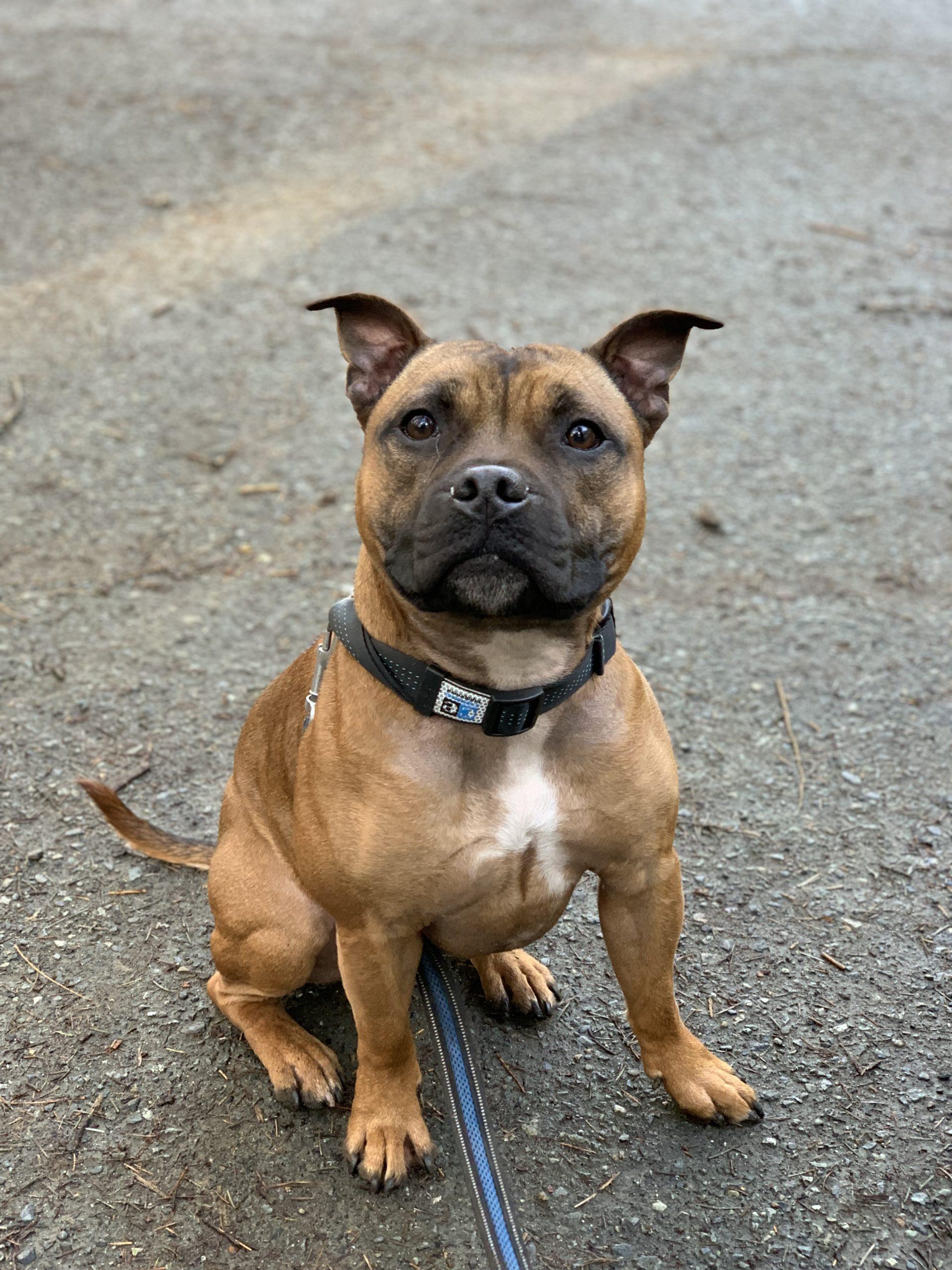 Forte - Dedras Dog Pack Member In Victoria