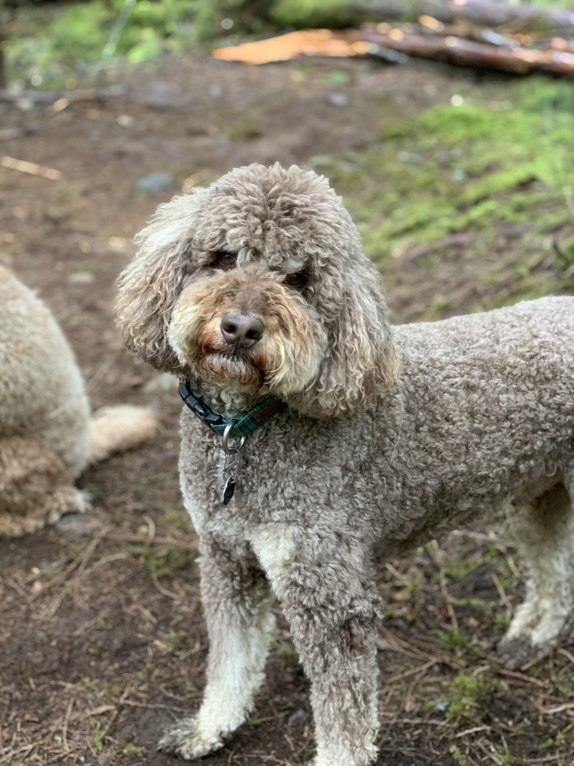 Henry - Dedras Dog Pack Member In Victoria