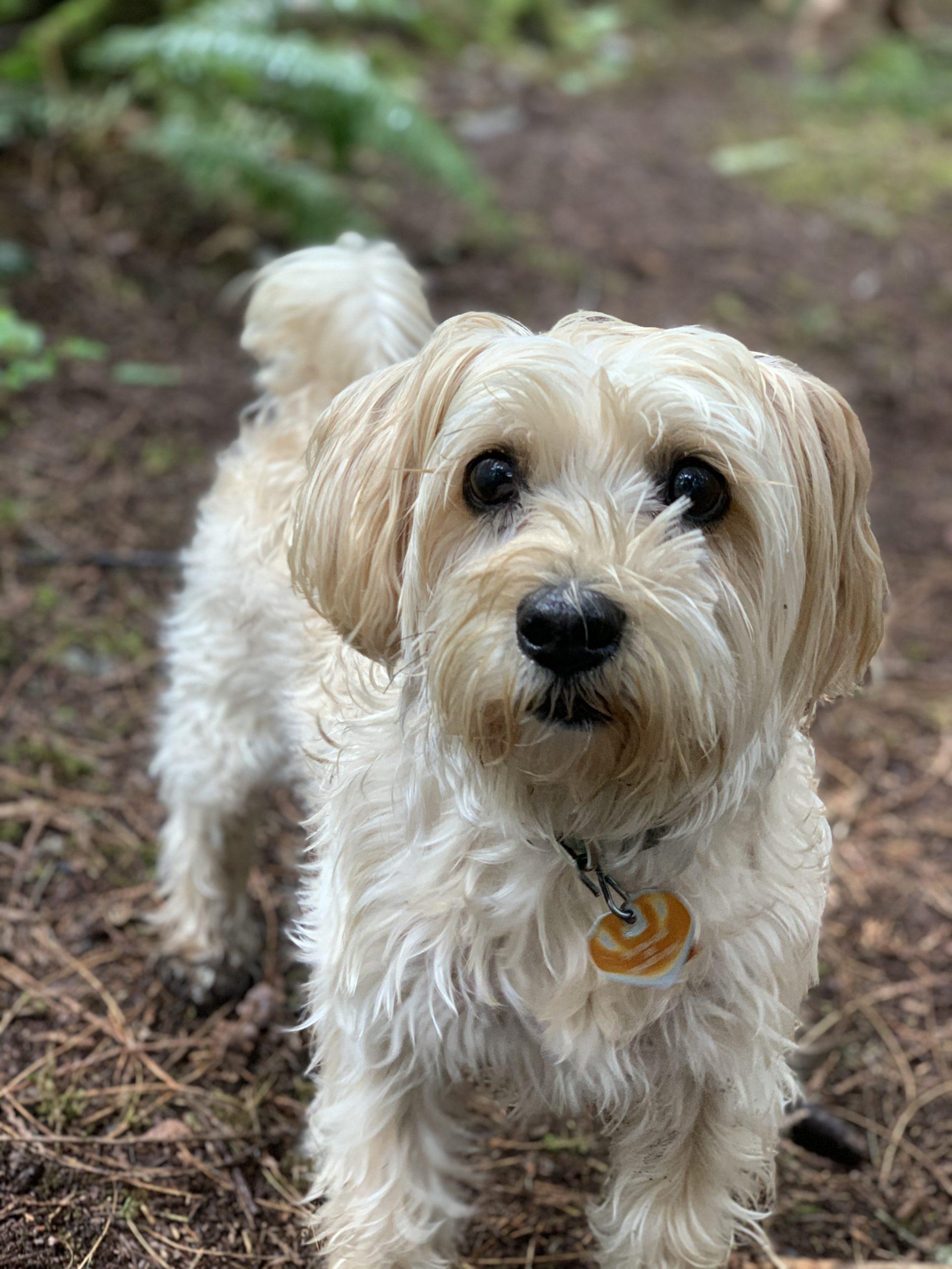 Padmes - Dedras Dog Pack Member In Victoria