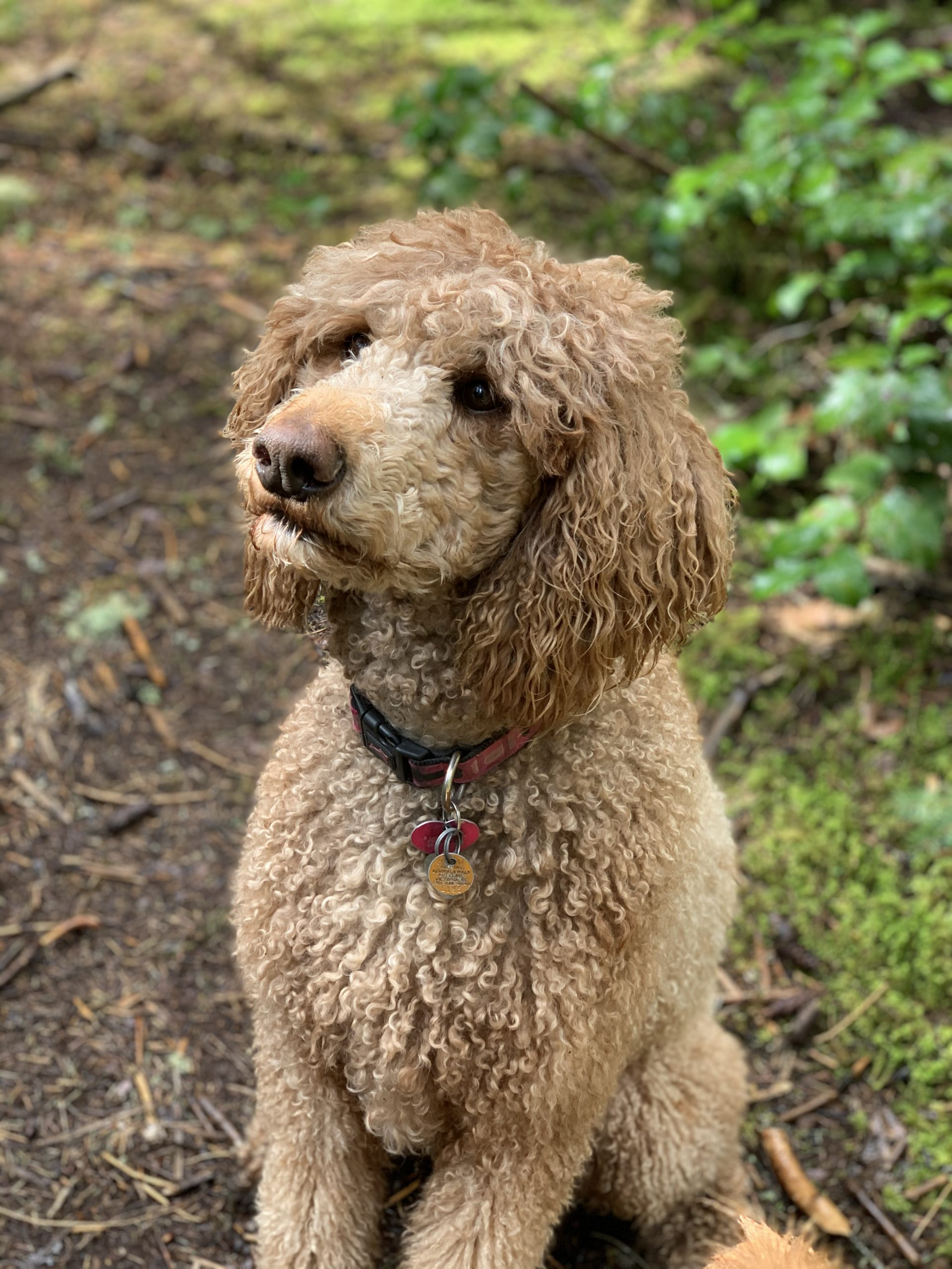 Mollie - Dedras Dog Pack Member In Victoria